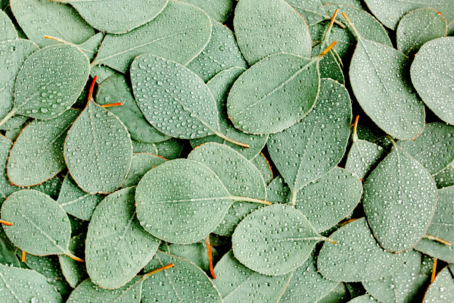 Background, Texture made of green eucalyptus leaves with raindrop, dew. Flat lay, top view